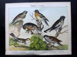 Kirby & Schubert 1889 Antique Bird Print. Bunting, Sparrow, Finch